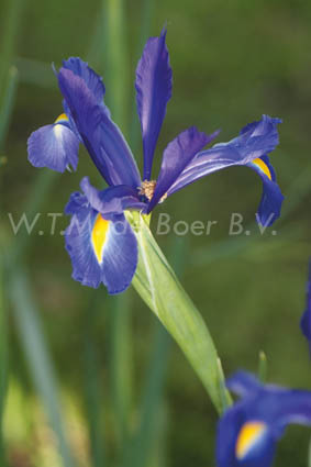 Iris hollandica Discovery