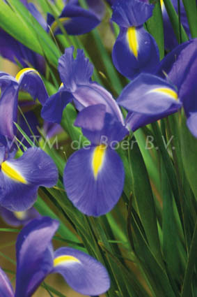 Iris hollandica Telstar